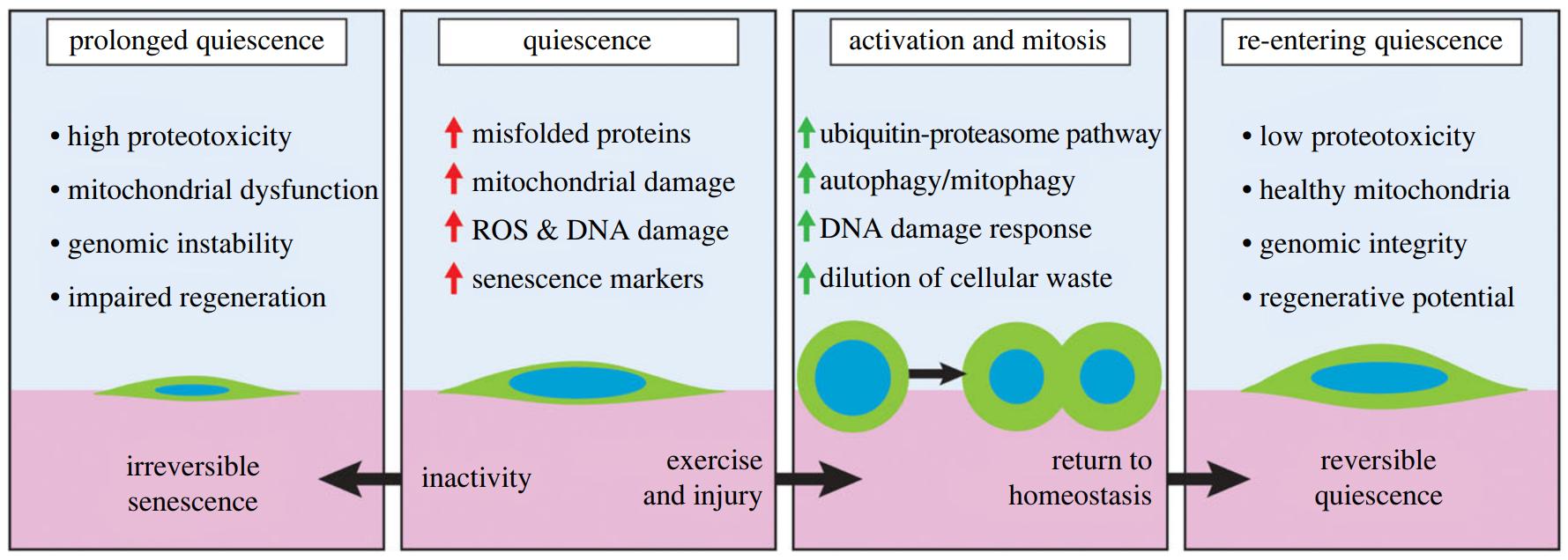 Dormência saudável (quiescência) requer ativação regular.  (Chen et al., Open Biology, 2020)