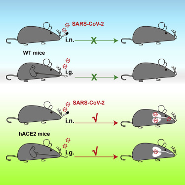 Scientists Find a Way to Infect Mice With Coronavirus. Here's Why That's So Important