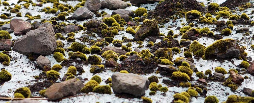 These Cute Fuzzy Green Moss 'Mice' Are Herding Their Way Across The Arctic