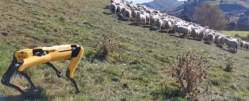 Video Shows Boston Dynamics' Robot Dog Herding Sheep And Checking Crops