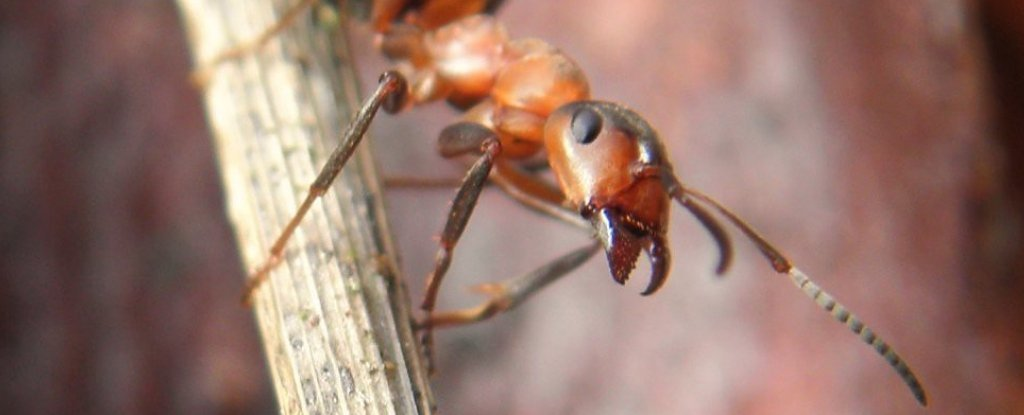 Wood Ants Store Short- And Long-Term Memories on Different Sides of Their Brains