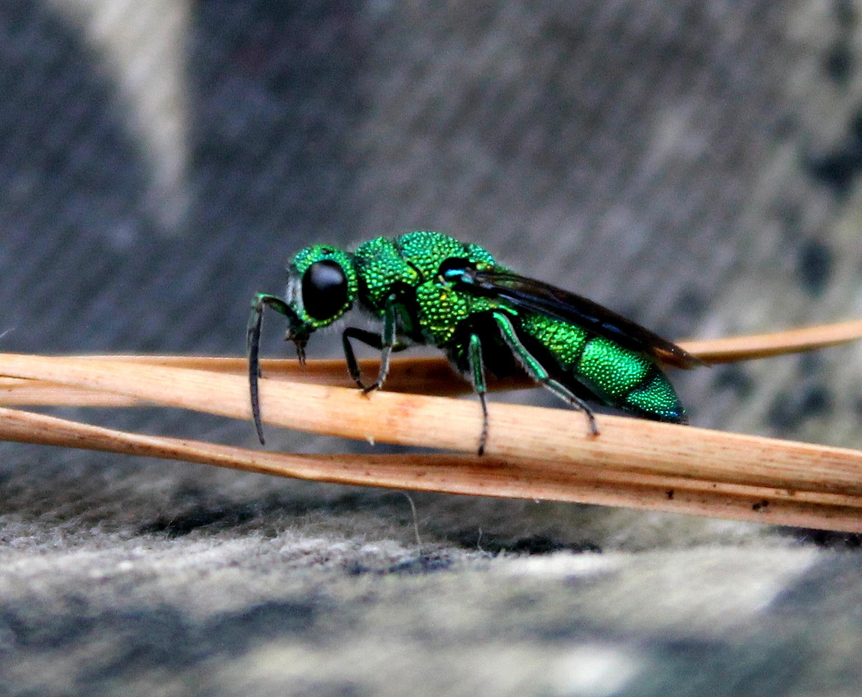 Cuckoo Wasp on Pine Needles