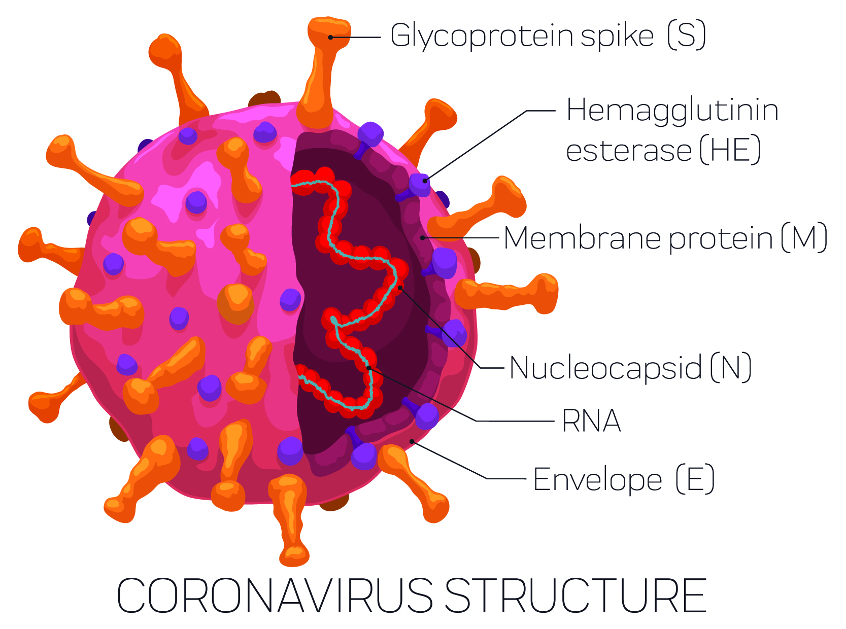 The structure of SARS-COV-2 with its spike protein (S). (PenWin/iStock/Getty Images Plus)