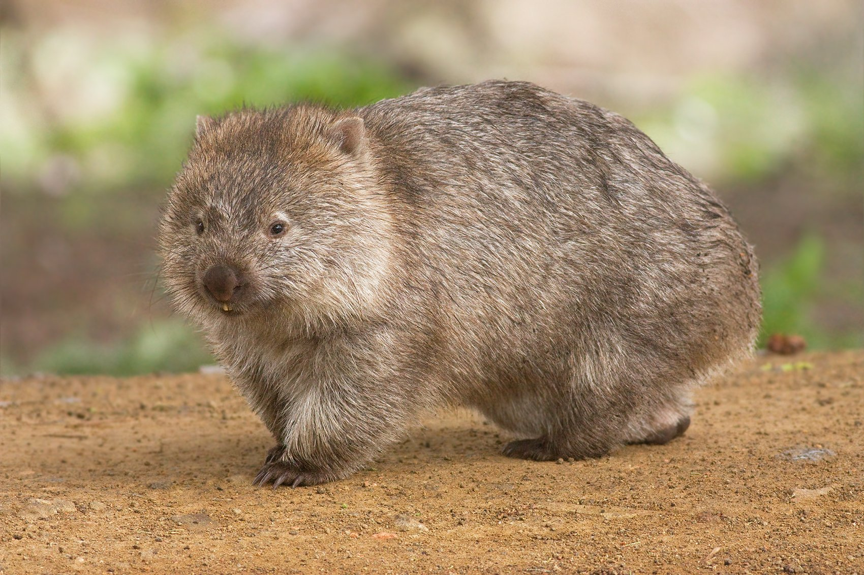 """The common wombat (Vombatus ursinus). (JJ Harrison/Wikipedia/<a href=""""https://theconversation.com/meet-the-giant-wombat-relative-that-scratched-out-a-living-in-australia-25-million-years-ago-141296"""">CC BY-SA 3.0</a>)"""