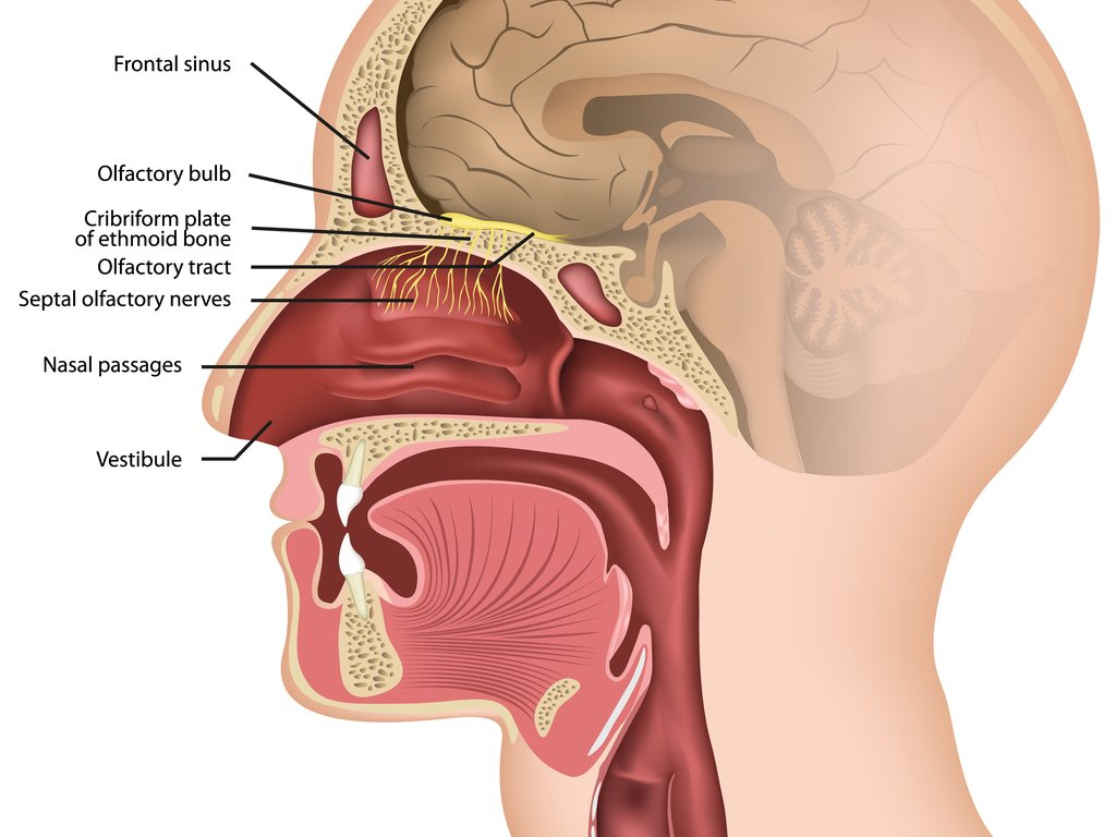 Location of the olfactory bulb. (medicalstocks/Shutterstock)