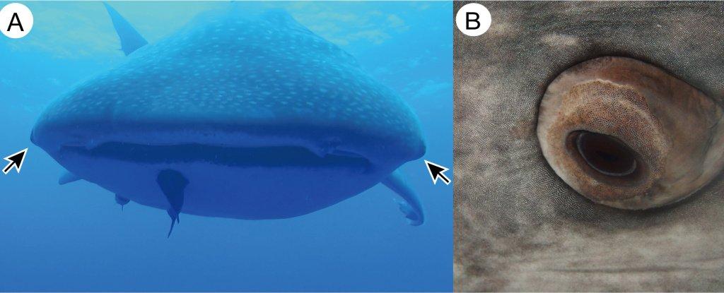 Eye position of a whale shark; a close up of an eye.
