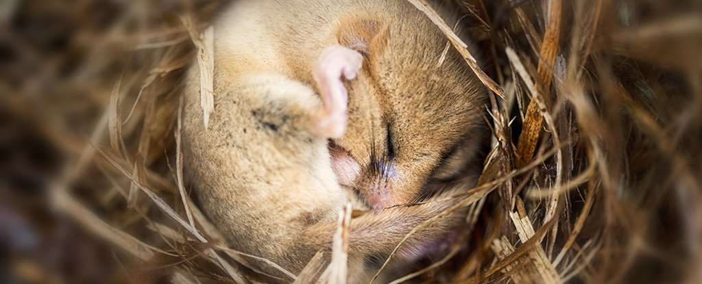 Scientists Find Brain 'Switch' in Mice to Trigger Hibernation on Demand