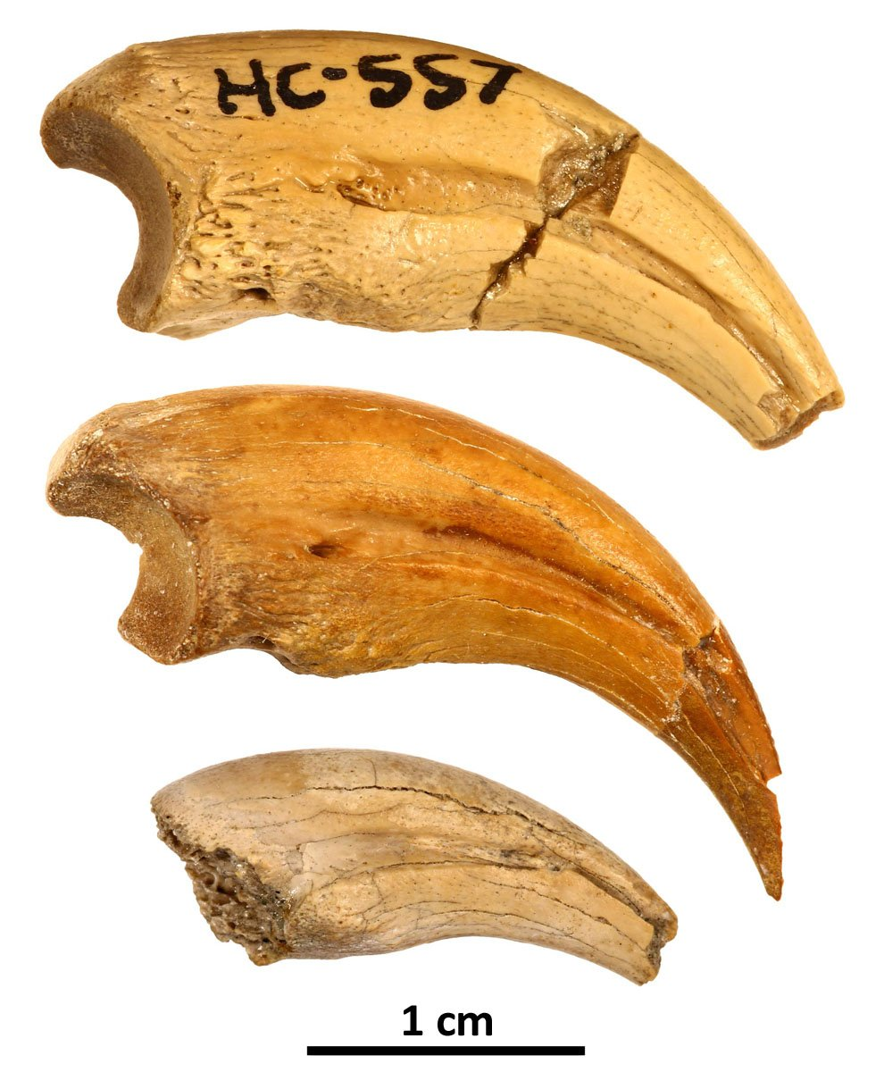 The three claws showing changes in shape and texture as the animal grew in size. (Fowler et al, Cretaceous Research, 2020)