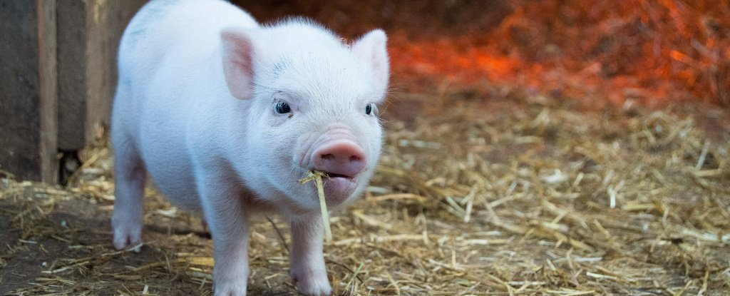 Is Swine Flu Really Going to Be The Next Pandemic? - ScienceAlert