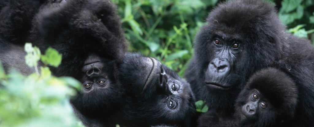 Scientists Find a Striking Similarity Between The Friendships of Gorillas And Humans