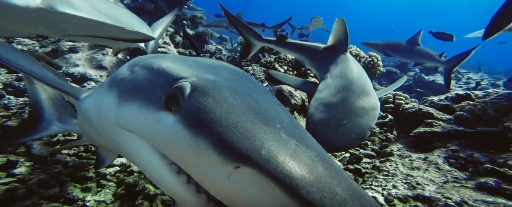 Sharks Are Now 'Functionally Extinct' in 19% of Earth's Ocean Reefs