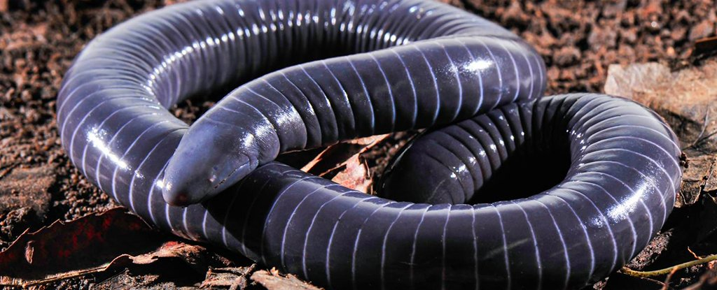 The ringed caecilian, Siphonops annulatus.