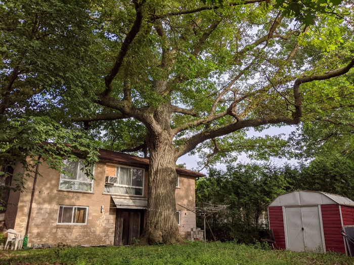 010 majestic oak tree 1
