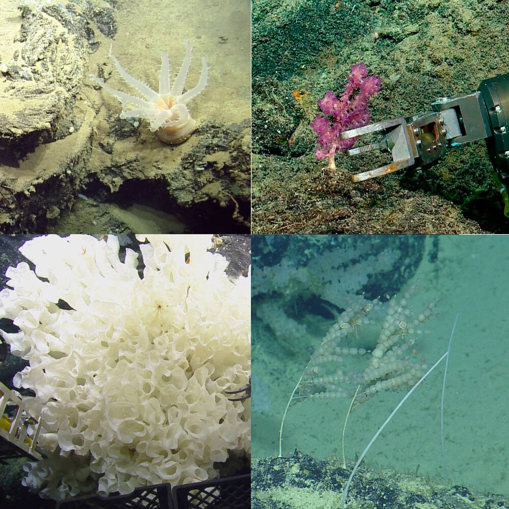 Examples of organisms collected. (Ocean Exploration Trust/Nautilus Live)