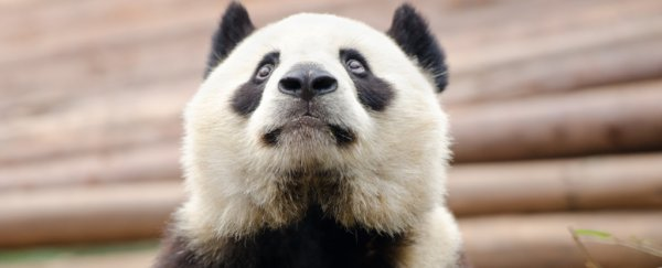 The giant panda is a conservation icon, but the success story masks a dark truth