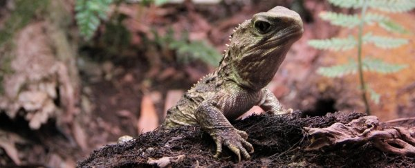 Genomic study reveals New Zealand's tuatara is like no other animal on the planet