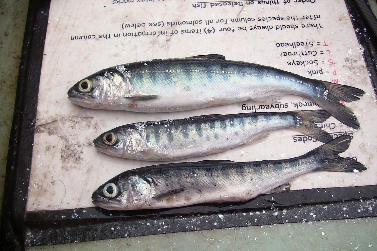 Coho salmon that went to sea during the 'Blob years' are noticeable thinner. (NOAA)