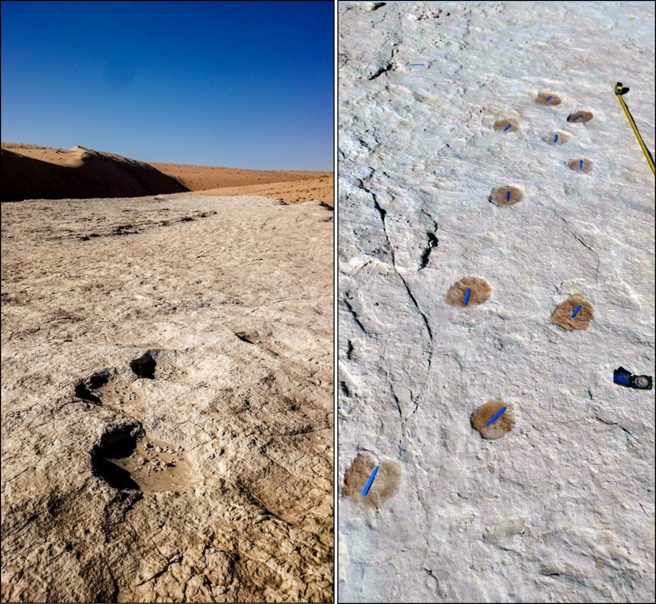 Elephant (left) and camel trackway (right). (Stewart et al, Science Advances, 2020)