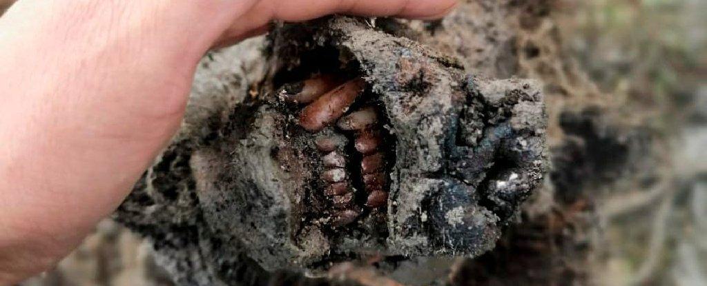 The cave bear carcass.