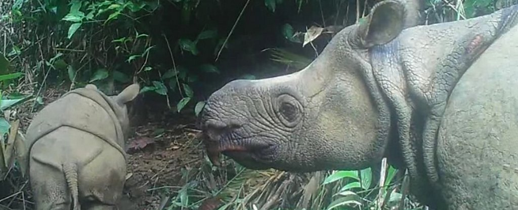 Two Extremely Rare Javan Rhino Babies Have Been Seen in Indonesia, Offering New Hope