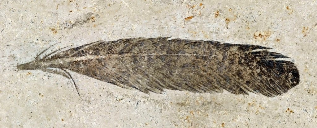 Oldest Fossil Feather Ever Found Came From The Archaeopteryx Dinosaur, Study Confirms