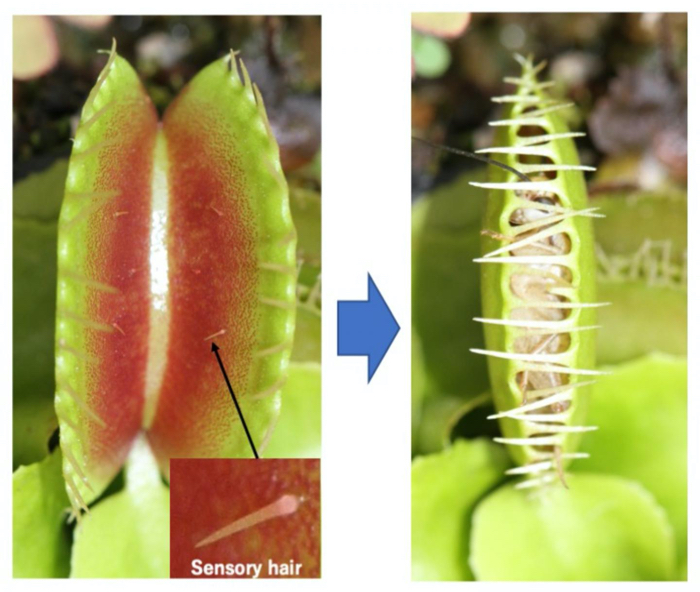 Chilling Experiment Pinpoints The Moment You Have a Venus Flytrap's Full Attention
