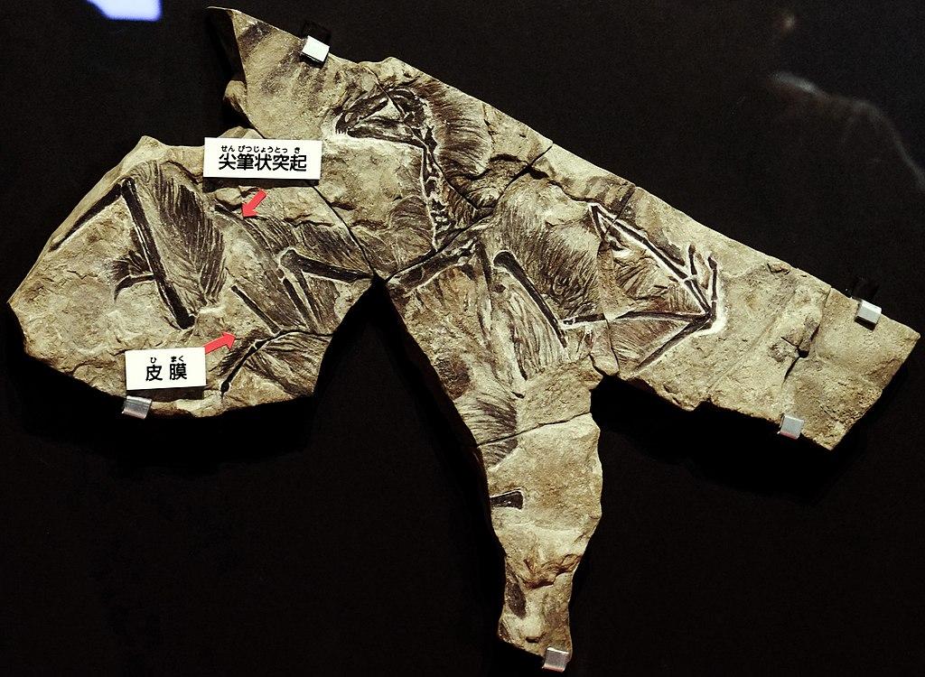 1024px Yi qi fossil