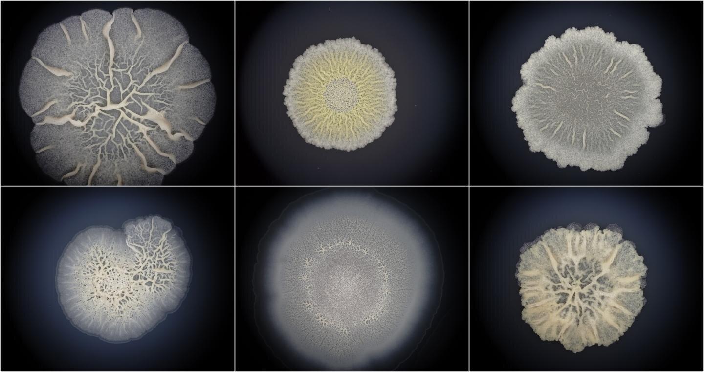 Bacillus subtilis biofilms. (Momir Futo/Ruđer Bošković Institute)