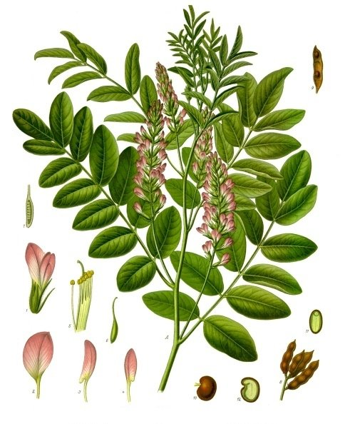 Licorice is produced from the Glycyrrhiza glabra plant. (Franz Eugen Köhler/Köhler's Medizinal-Pflanzen/Wikimedia)
