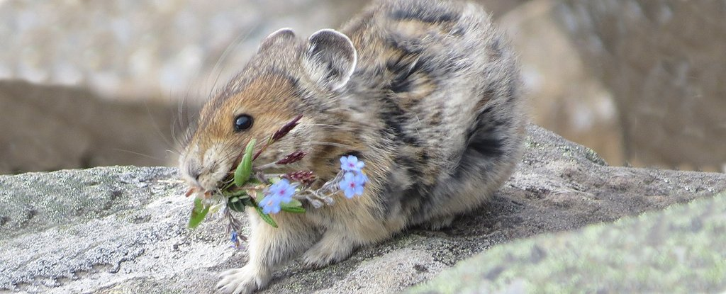 Study Says an Adorable Species May Be Doing Okay in Climate Change - The American Pika! - ScienceAlert