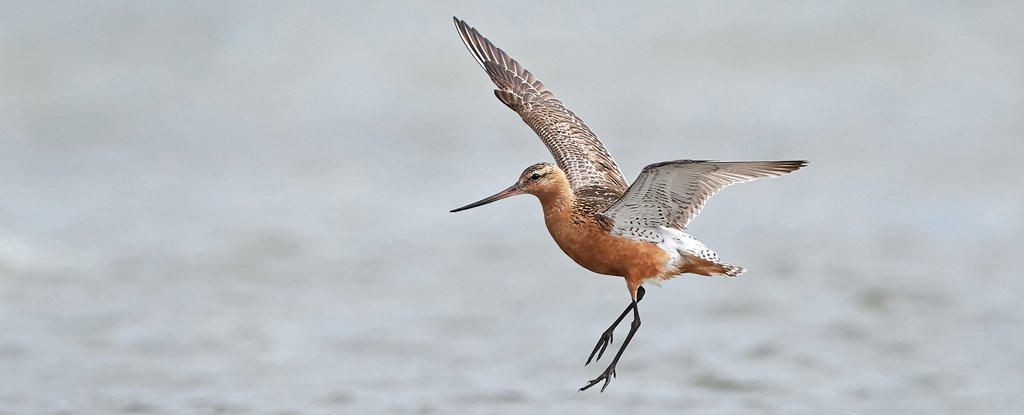 Bar-Tailed Godwit Breaks Record by Flying Nonstop From Alaska to New Zealand