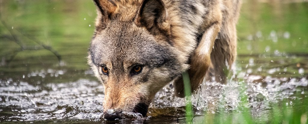 Trump Administration Just Ended Gray Wolf Protections Against Advice of Scientists