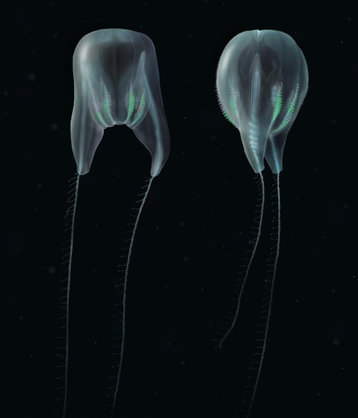 010 ctenophore 2