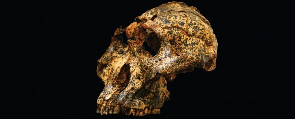 The skull of DNH 155.