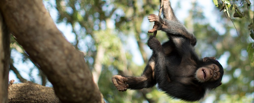 The last fertile female in Guinea's tool-using ape tribe has successfully given birth!