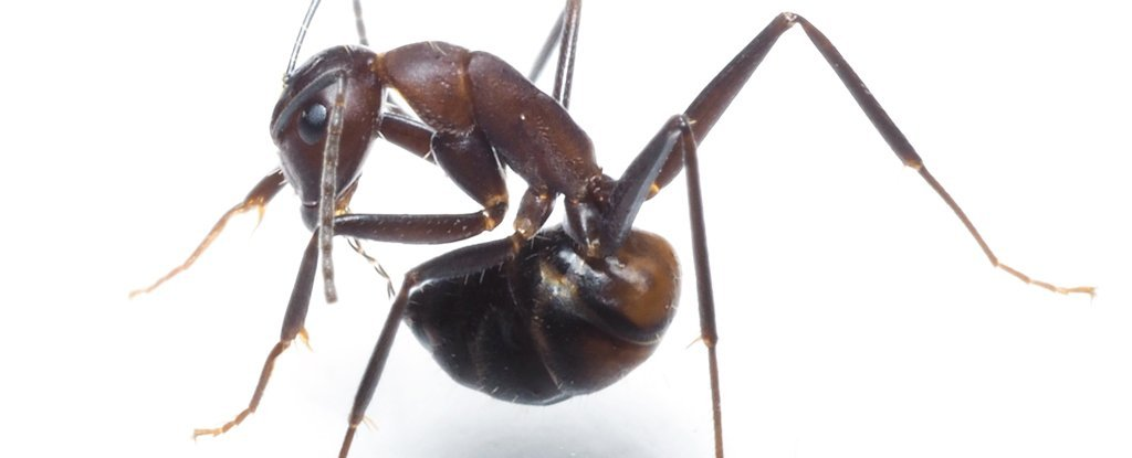 Camponotus nicobarensis trying to slurp formic acid from its acidopore.
