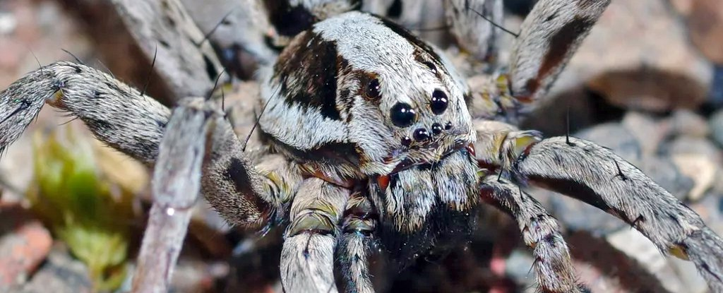 Great fox-spiders immobilize prey with venom that liquifies their internal organs.