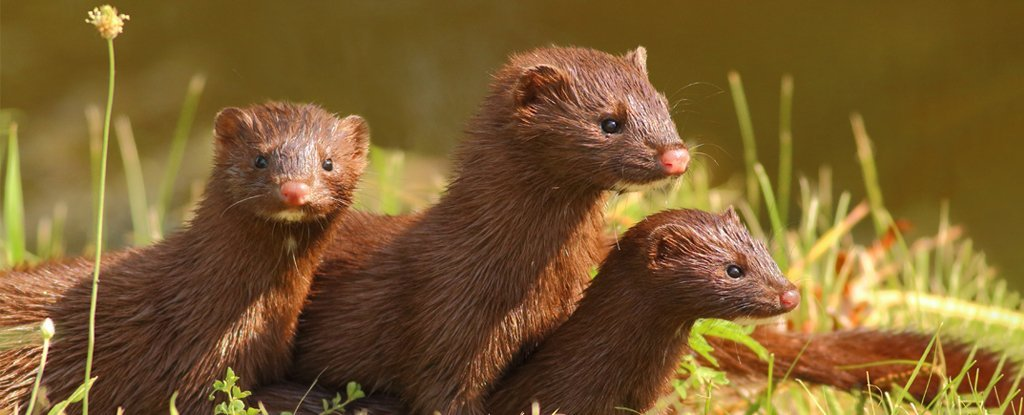 Over 100 Infected Danish Mink Have Escaped And Could Spread SARS-CoV-2 to Wildlife