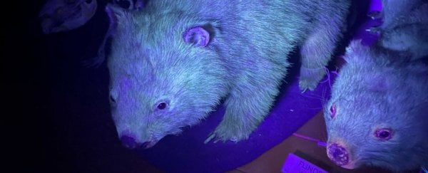 Stop everything - it turns out wombats also have biofluorescent fur