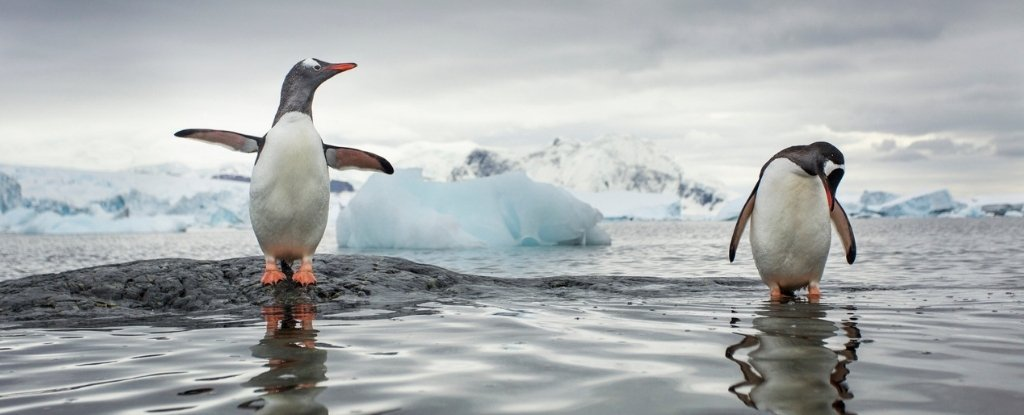The Gentoo Penguin Is Actually Four Distinct Species We Mistook For One