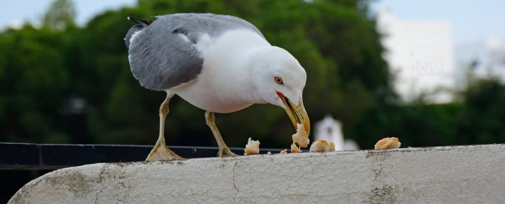 Gulls Work Out The Timing of School Lunch Breaks So They Can Steal Food