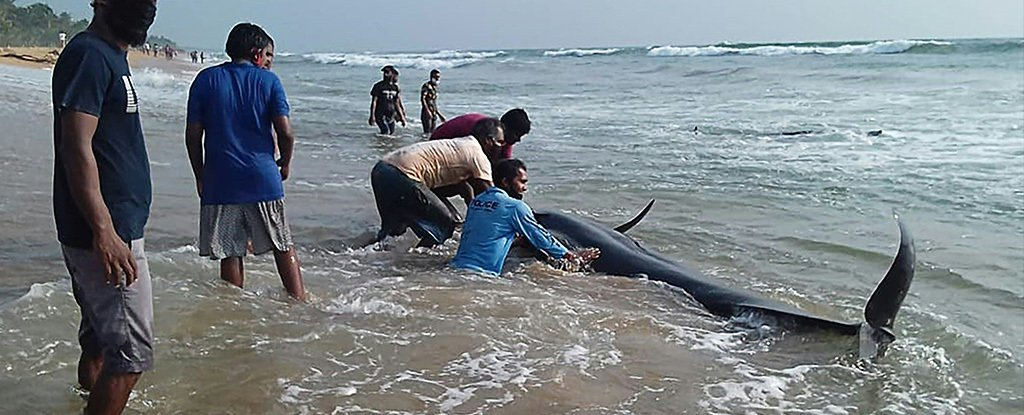 Sri Lankan volunteers try to push back a stranded short-finned pilot whale.
