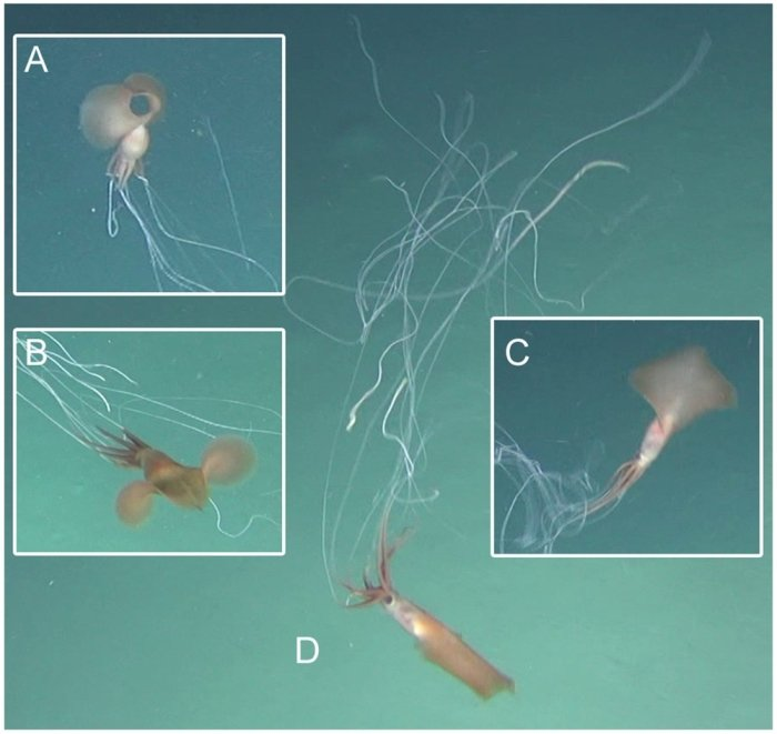 Eerie Footage Captures Elusive Deep-Sea Squid Near Australia For The First Time