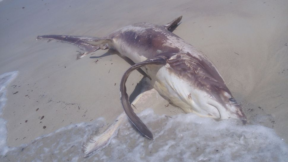 Grisly Beach Discovery Reveals Broken 'Sword' That Slayed an Unlucky Shark