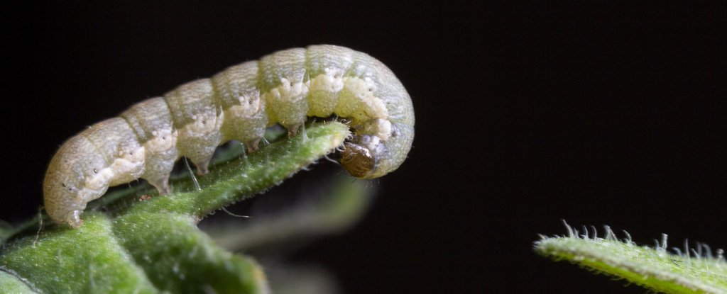 Saliva From Hungry Caterpillars Alerts Cowpea Plants to Turn on Their Defenses