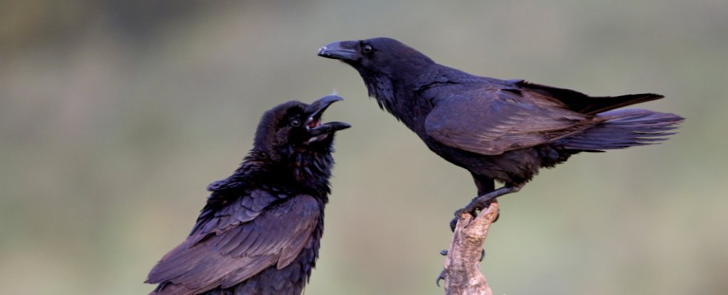 Young Ravens Could Have Cognitive Skills That Rival Adult Great Apes, Research Finds