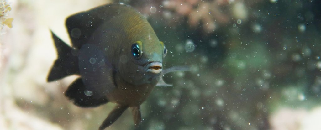 A longfin damselfish.