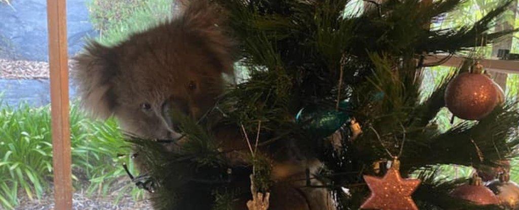 An Australian Family Just Found a Live Koala in Their Christmas Tree