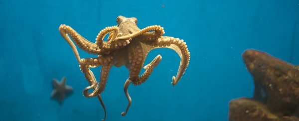 Mesmerizing video study reveals how octopus arms are so incredibly flexible