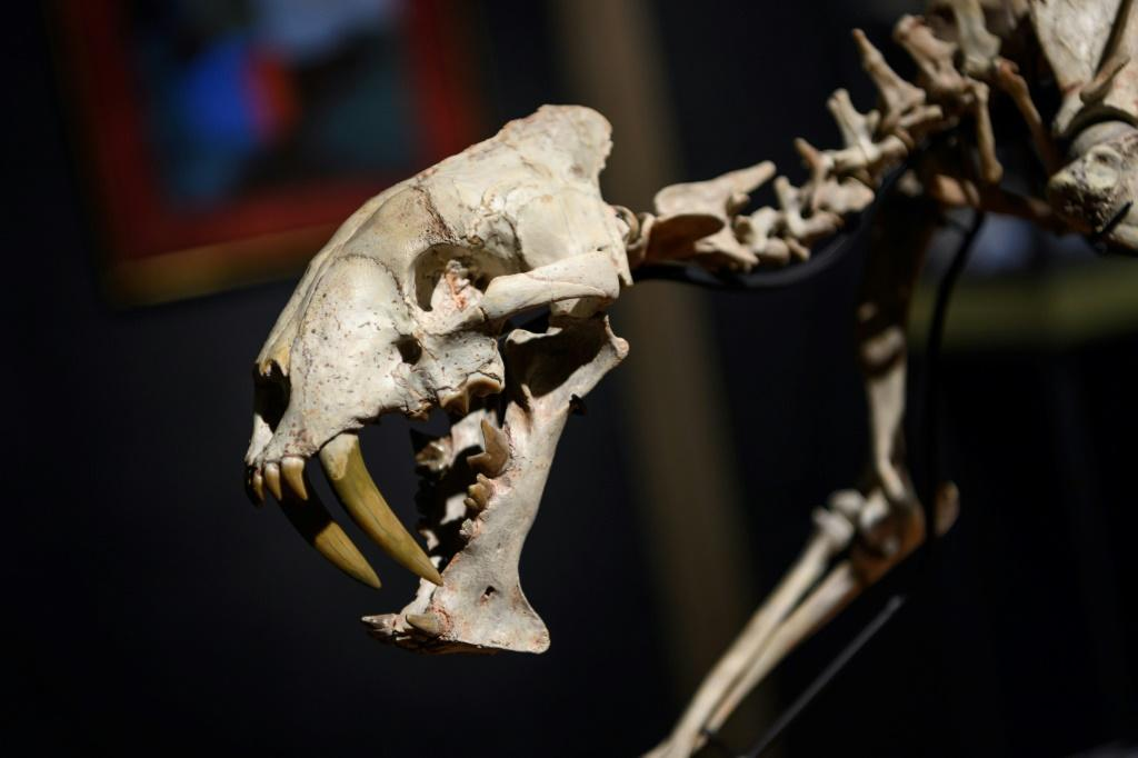 A 37-Million-Year-Old 'Sabre-Toothed Tiger' Just Went Up For Auction